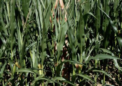 Nu - géométrie variable - 016-les maïs
